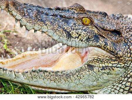 Saltwater or Estuarine Crocodile (crocodylus porosus), Indonesia