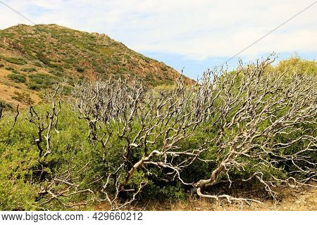 Old Growth Chaparral Shrubs Burnt From A Past Wildfire Besides New Growth Chaparral Shrubs Taken On