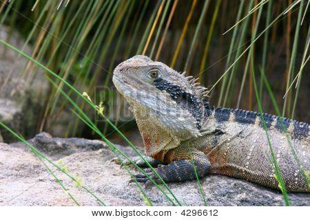 Eastern Water Dragon