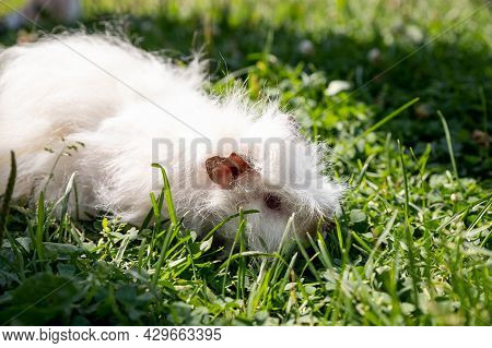White Long Hair Guinea Pig In Green Grass. Fresh Greens In Pet Nutrition. Pet Is Walking On The Gree
