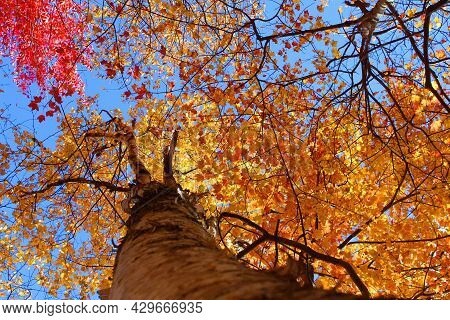 Looking Straight Up Into The Canopy Of A Colorful Tree In New Hampshire