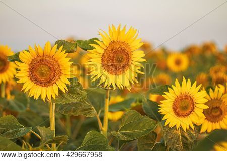 Sunflowers At Fields Bloom On Summer Sunrise. Sunflower With Blue Sky Background. Sunflower Blooming