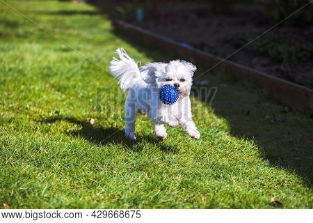 A Portrait Of A Small Cute White Boomer Dog Running And Playing With A Blue Ball In A Garden On The