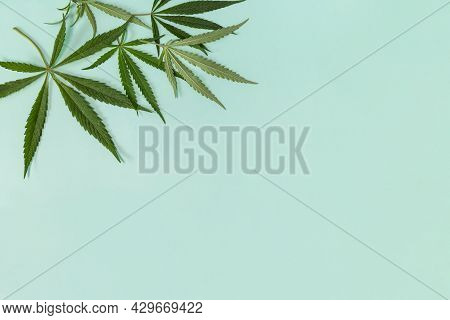 Medicinal Plant Growing. Fresh Green Cannabis Leaf On A Green Pastel Background, Alternative Medicin