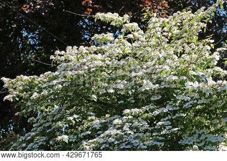 Early Season Japanese Snowball Bush, Viburnum Plicatum Form Tomentosum Variety Pink Beauty, White Fl