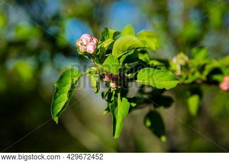 A Branch Of An Apple Tree, Strewn With Buds Of Unopened Flowers