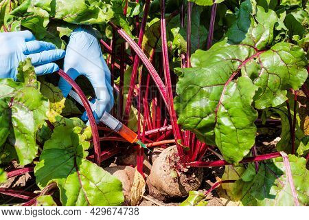 Female Scientist In Blue Medical Gloves Holds Syringe With A Red Chemical Fertilizer. Crop Treatment