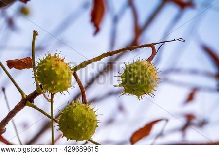 Horse Chestnut Fruits Hanging On The Tree In Autumn, In Leaves And Branches. Aesculus Hippocastanum,