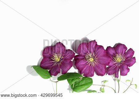 Pink Purple Clematis Flowers Isolated On White Background. Border Or Frame For Your Text. Floral Sum
