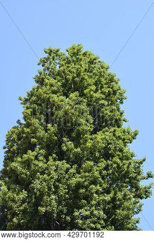 Lombardy Poplar Tree Against Blue Sky - Latin Name - Populus Nigraa Var. Italica