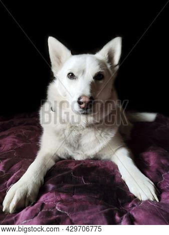 Portrait Of A Pet Of The Husky Breed.