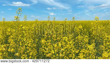 Selective Focus, A Rapeseed Field Against A Blue Sky Showing The Flag Of Ukraine, A Symbol Of Ukrain