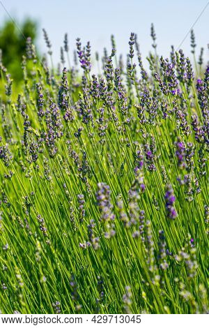 Blooming Lavender Flower Close Up With Blue Sky Background