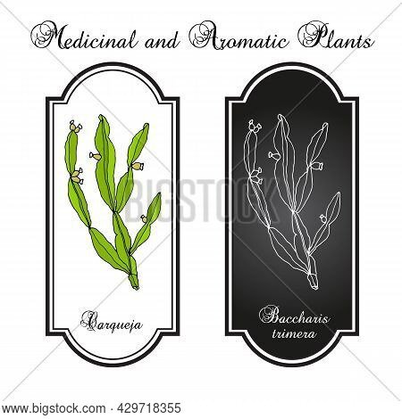 Carqueja Or Baccharis Trimera Collection Of Medicinal Plants Concentrating Manganese. Hand Drawn Vec