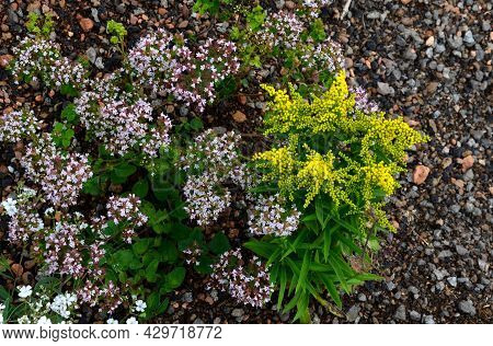 Easy, Bushy, Compact Perennial. Green Leaves. Yellow Lath Flowers, Composed Of Small Flowers, Suitab