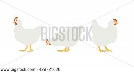 Flat White Chicken. Set Of Vector Illustrations For Design. Homemade Chicken, Hen. Isolated On White