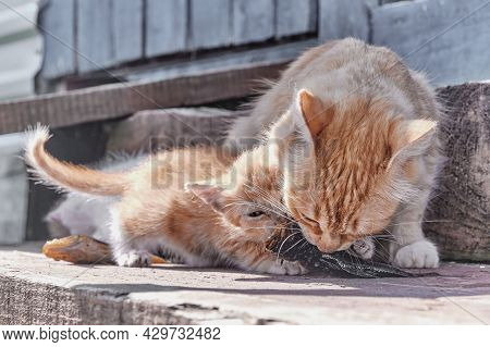 Cute Ginger Kitten And Its Mother Eating The Same One Small Fresh Fish On The Old Wooden Porch Of A