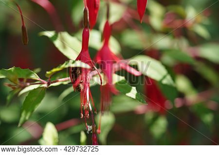 Honey Bee Hidden In Red Flower Head Of Fuchsia Eating Nectar.