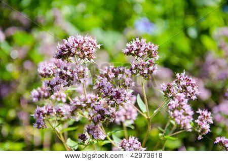 Pink Flowers Of Wild Marjoram, Origanum Vulgare
