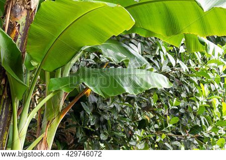 Banana Tree With Wide Green Leaves With A Background Of Jackfruit Leaves Typical Of The Village