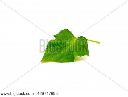 Sweet Potato Ipomoea Batatas Leaf Isolated On White Background