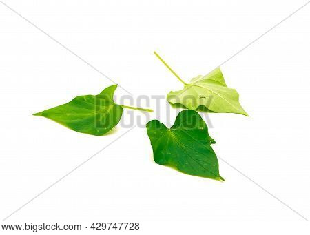 Three Sweet Potato Ipomoea Batatas Leaves Isolated On White Background