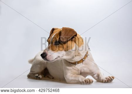 Dog jack russel terrier on white background