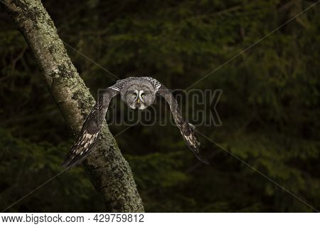 Great Grey Owl Or Lapland Owl Lat. Strix Nebulosa Fly Through Forest Towards Evening