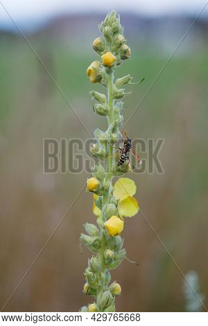 Tall Stem Of Mullein Yellow Flowers (verbascum Thapsus) With Wasp Insect In Summer Meadow In Vaud, S