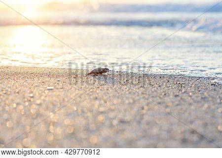 Hatched Sea Turtle Crawl On Sand To The Sea At Sunrise. Forward To A New Life.