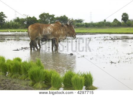 poster of a pair of ox working in a paddy field in india