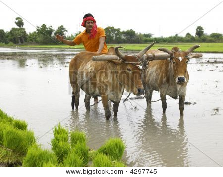 Indian Farmer Working In His Paddy Field