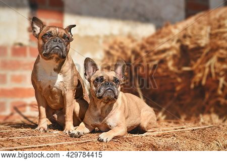 Pair Of Fawn French Bulldog Dogs Posing Between Hay Bales