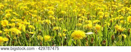 Panorama Of Meadow Field With Bright Yellow Flowers Of Dandelion In Spring, Selective Focus. Natural