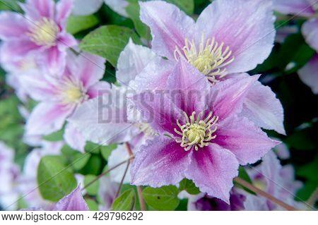 Blooming Pink Clematis Flower Head, Floral Macro