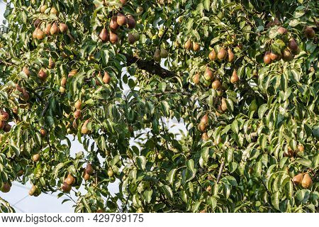 Many Green Pears On Tree Ready To Harvesting On Blue Sky Background. Pear Orchard With Green Pears.