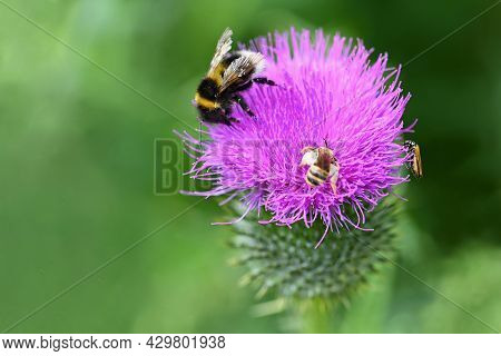 A Bee On A Thistle. Beautiful Natural Colour Background.
