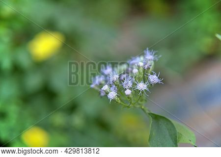 Selective Focus On Little Softness Purple Flower Of Herb Called Name Bitter Bush Or Siam Weed. Natur