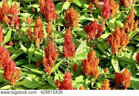 Beautiful Red Cockscomb, Woolflowers Or Celosia Cristata Flowers. A Flower Resembling The Head Of A
