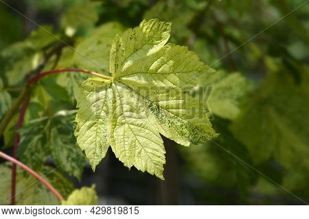 Sycamore Leopoldii Leaves - Latin Name - Acer Pseudoplatanus Leopoldii