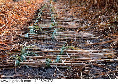 Sugarcane Pile In Plantation Land, Sugar Cane In Harvest Season, Sugarcane Fresh In Plant Field