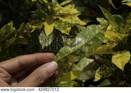 Female Holding A Croton Leaf In Hand Whose Underside Is Getting Damaged By Insects Laying Eggs Larva