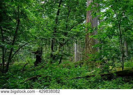 Summertime Deciduous Forest With Old Monumental Oak Tree In Background, Bialowieza Forest,poland,eur