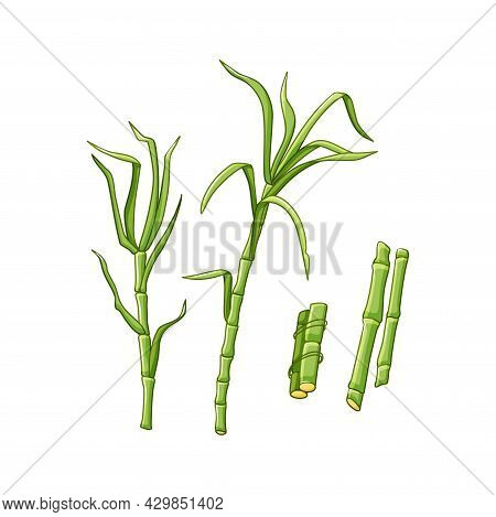 Sugarcane Plants On A White Isolated Background. Green Leaves And Stems. Vector Illustration In The
