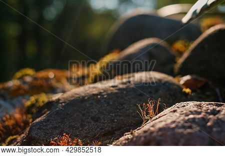 Beautiful Red Moss Growing On Rough Granite Stones In North In The Forest In The Rays Of The Setting