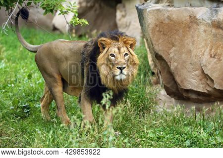 The Asiatic Lion (panthera Leo Leo) Looks Into The Lens. A Rare Indian Lion In Captivity At The Zoo.