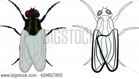 Housefly Or Fly Or Musca Domestica Illustration Fill And Outline Isolated On White Background. Insec