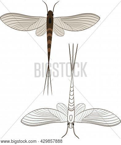 Realistic Illustration Of Mayfly Or Shadfly Or Fishfly Insect. Isolated On White Background. Insects
