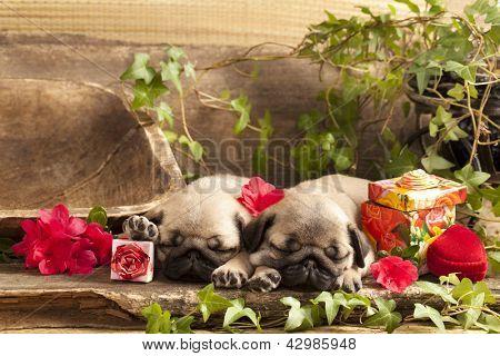 pug puppies and gift  box