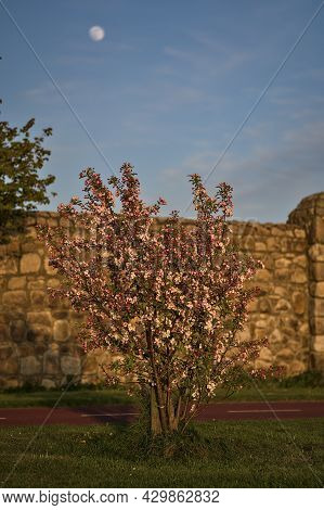 Beautiful Evening View Of Pink Spring Flowering Crab Apple (malus Sylvestris) Tree Growing Beside Cy